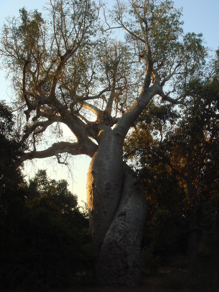 """Baobab amoureux"", los baobabs enamorados"