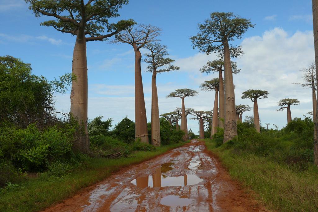 Barro en la Avenida de los baobabs