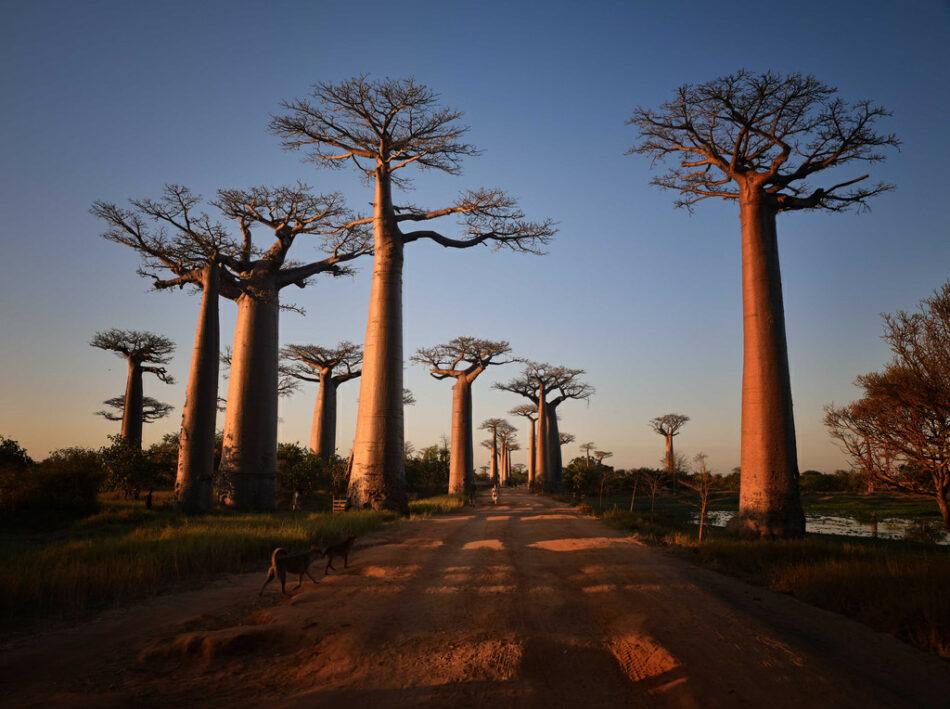 Avenida de los Baobas